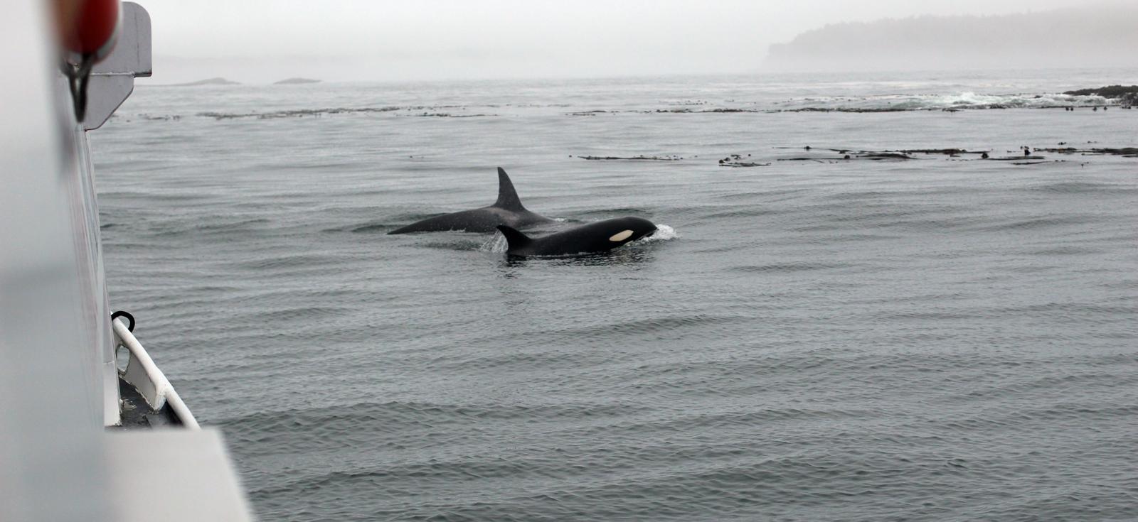 killer whales orcas